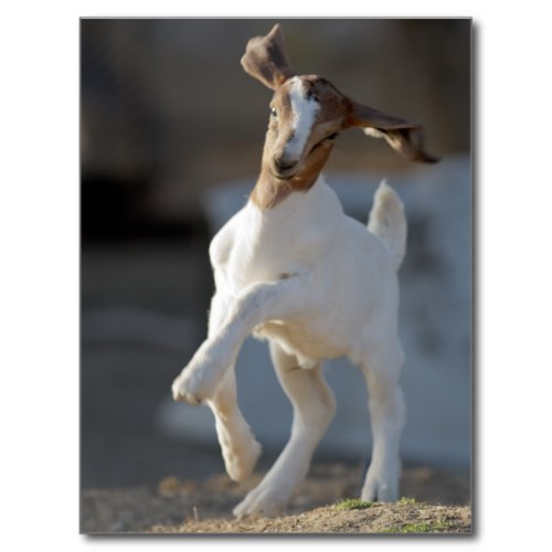 Kid Goat Prancing About   Cute Photo Postcard