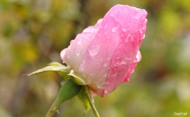 Rose fermée sous la pluie