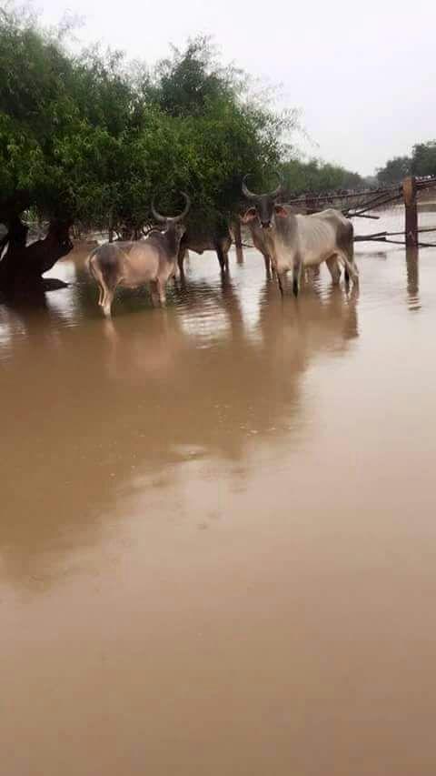 सांचौर में घुसा पानी,विश्व की सबसे विराट गौशाला भयंकर संकट में