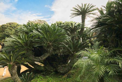 Sago palms on the grounds of Hattori Yashiki, Hachijojima Island.