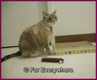 Milita sits near her new scratcher and Yeowww catnip cigar