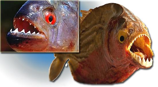 5 terríveis animais de água doce - Piranha