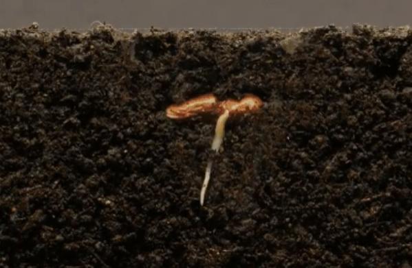 Як проростає квасоля