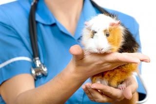 cobayo tranquilo en manos de su veterinario