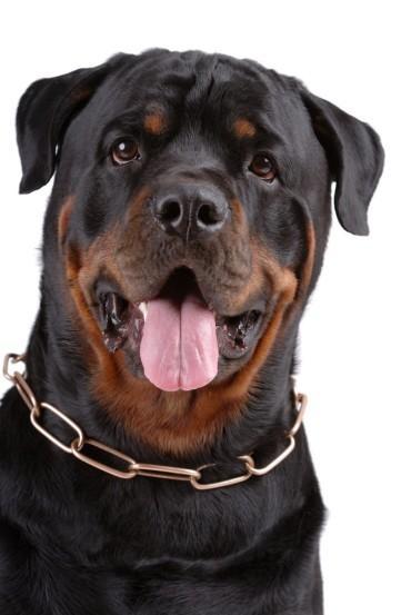Giống chó Rottweiler