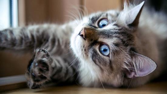 Mengatasi Kucing Birahi Tanpa Kawin