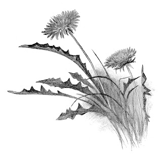 flower dandelion wildflower image pencil artwork digital drawing
