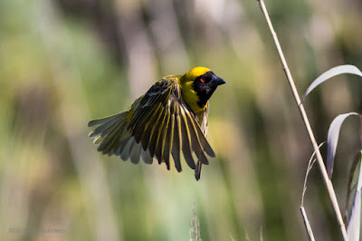Southern Masked Weaver: Canon EOS 6D / 400mm Lens ISO 1250 /f6.3 1/4000s - Woodbridge Island, Cape Town