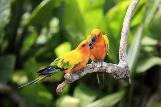 Burung Nuri Sun Conures