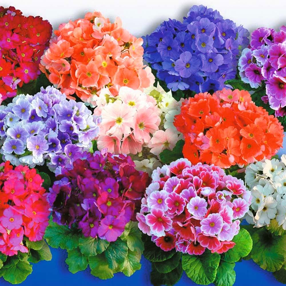 Примула (Первоцвет), (Primula). Описание, виды и уход за ...