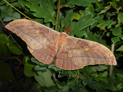 Antheraea yamamai male