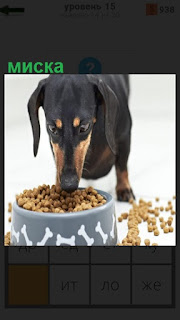 Собака породы такса ест корм положенный в миску на полу