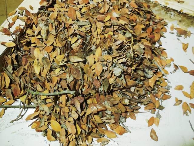 jesnienne liście drzew mastichowych pomiędzy którymi leżą kulki aromatycznej żywicy