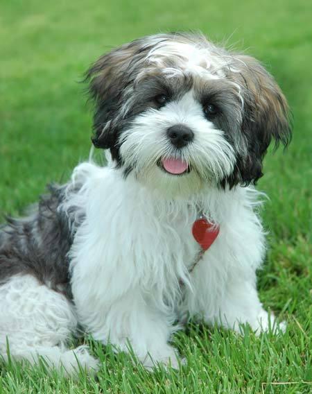 Eloise | Adopted Dog | LM | Washington, DC | Lhasa Apso ... |Lhasa Dog Mix