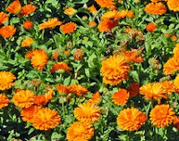 Calendula helps, wounds heal faster