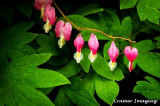 Professional quality fine art nature photograph of pink and white bleeding heart flower bush with leaves in Pocatello, Bannock, Idaho by Cramer Imaging