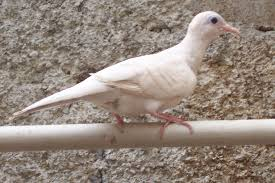 Jenis Burung Perkutut BERTUAH Menurut Primbon