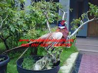 Ring Neck Pheasant Ayam Pendeteksi Gempa