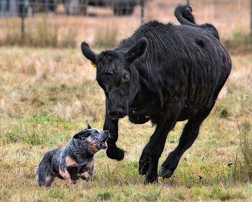 Best Working Cow Dogs
