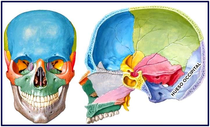Hueso occipital del cráneo