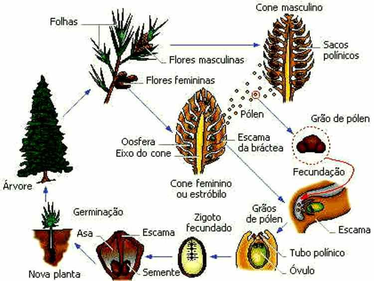 #Plantas Gimnospermas