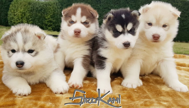 Cachorros Husky Rojo Negro Gris y Arena