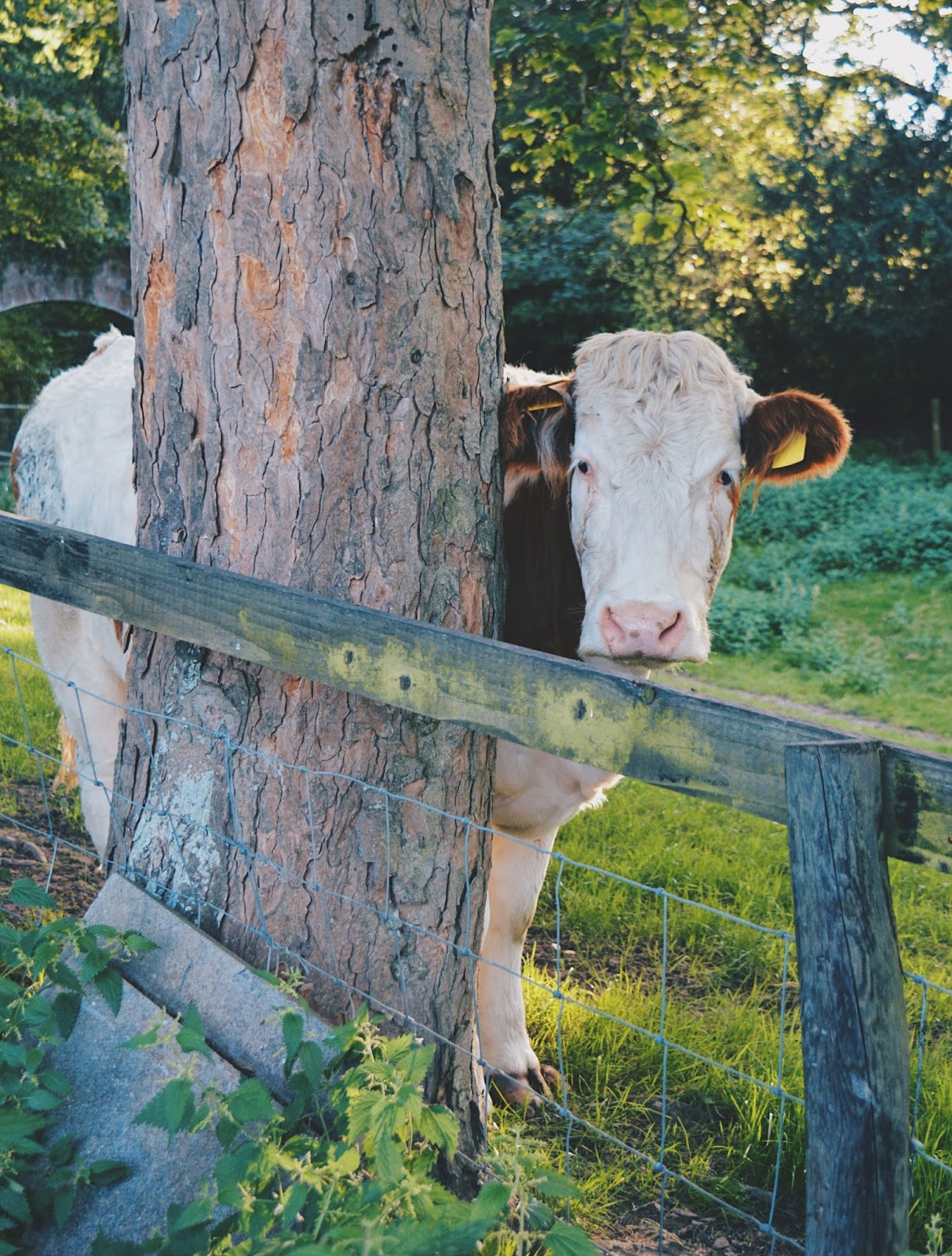 Cute white cow behind tree