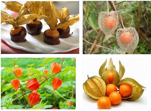 Perchè fa bene mangiare la bacca Alchechengi ricca di vitamina C: ecco i suoi benefici | Salute News