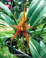 Bulbophyllum klabatense