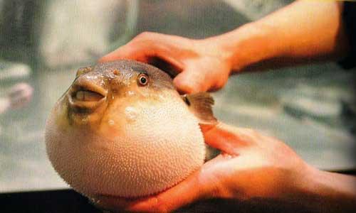 Ikan Fugu 9 Makanan Enak yang Ternyata Beracun