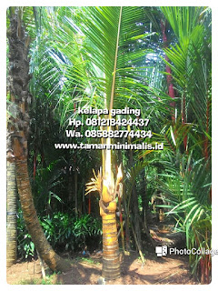 Tukang Taman minimalis menjual pohon kelapa kuning,  kelapa gading,  kelapa hibrida dengan harga murah