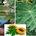 The 9 Hidden Secrets Of Papaya Leaves Revealed!