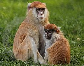 escapan monos salvajes