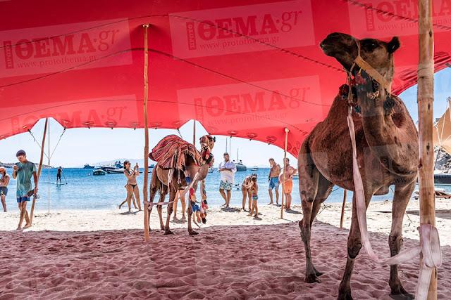 Wielbłądy na greckiej plaży Psarou Mykonos Grecja. W tle błękitne morze, turyści.
