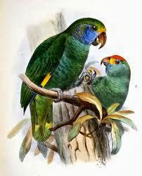 Amazona cara azul: Amazona dufresniana
