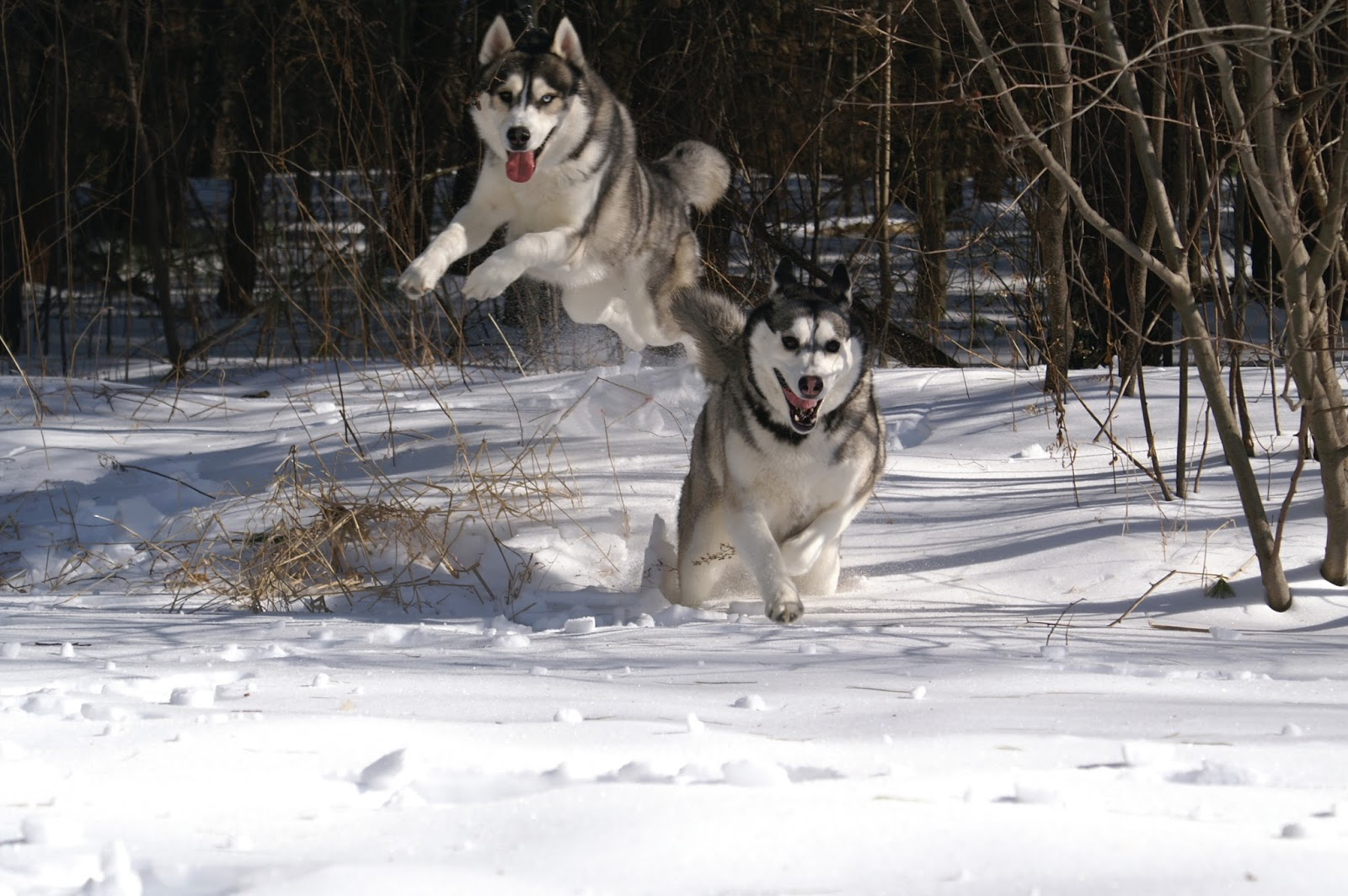 Plexidor Pet Doors Dog Breed Spotlight Siberian Husky