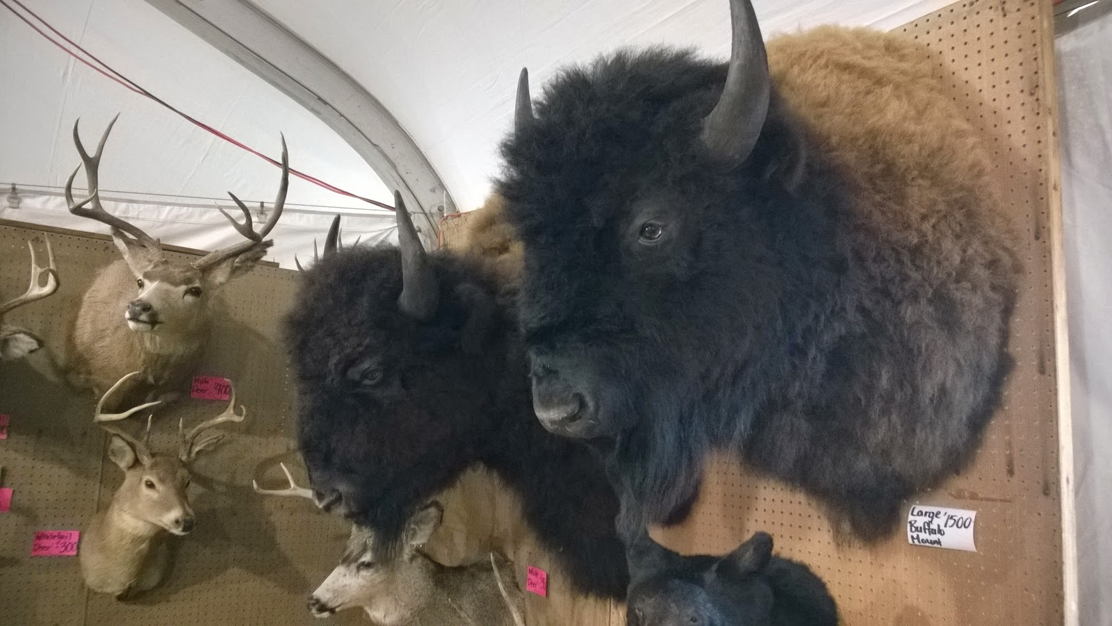 Mounted animal heads, including bison bulls