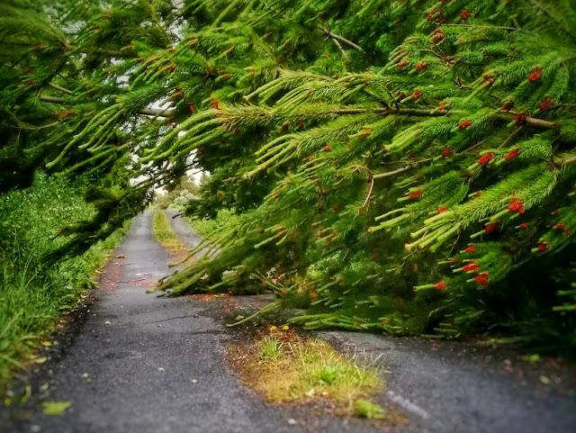 pine tree fallen across a road