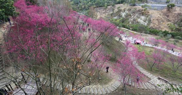 台中大坑濁水巷櫻花林秘境,大坑賞櫻花秘境,大坑櫻花谷,大坑5千棵櫻花