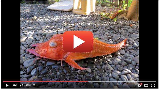 ikan berbentuk aneh