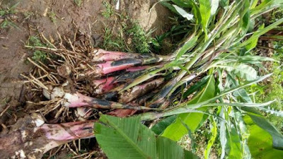 plantain suckers