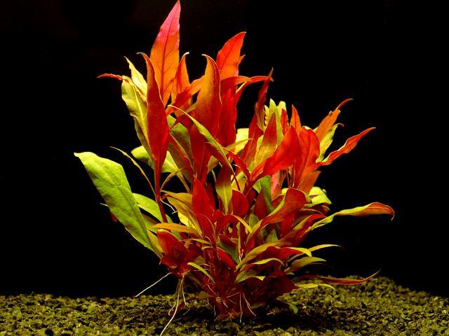 Cây thủy sinh huyết tâm lan lá dài rất được người chơi thủy sinh ưa chuộng