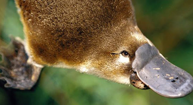 Researchers warn of uncertain future for Australia's platypus