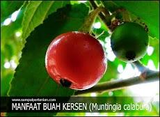 Manfaat buah Kersen (Muntingia calabura) bagi Kesehatan
