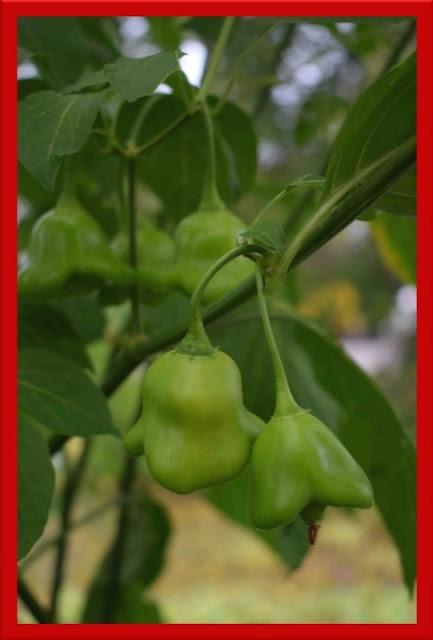 Capsicum annuum 'Jamaican Bell'