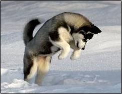 foto cachorro siberian husky negro y blanco jugando en la nieve