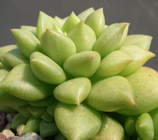 Suculenta flor-de-lótus