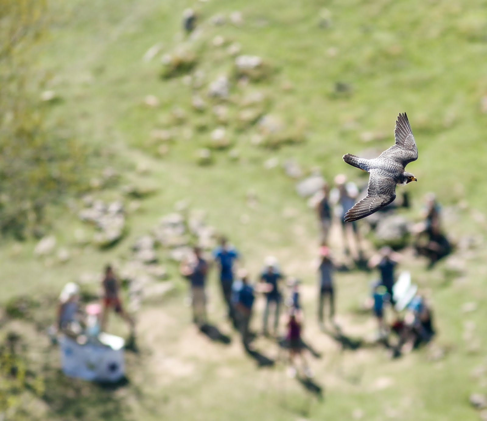 Peregrine,Malham Cove,Yorkshire Dales National Park.