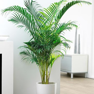 Tanaman Hias Areca palm