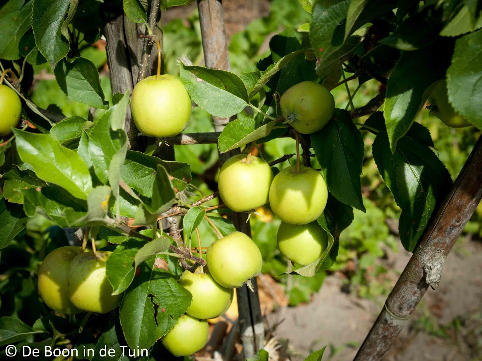 appel golden delicious moestuin volkstuin